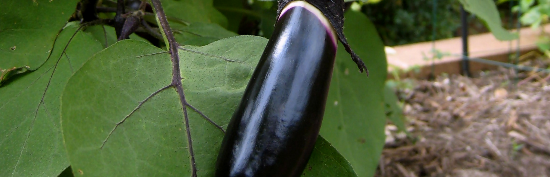 Nutritional Value Of Eggplant